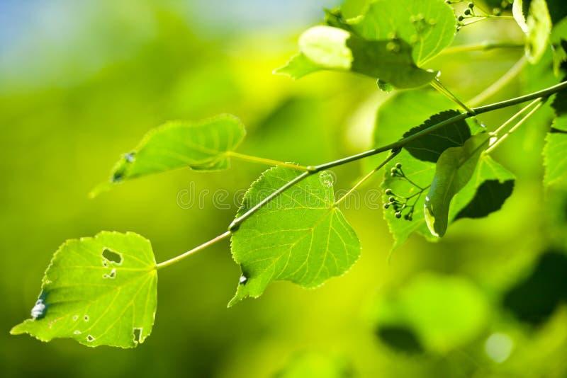 Ramifique com folhas rmoídas fotografia de stock