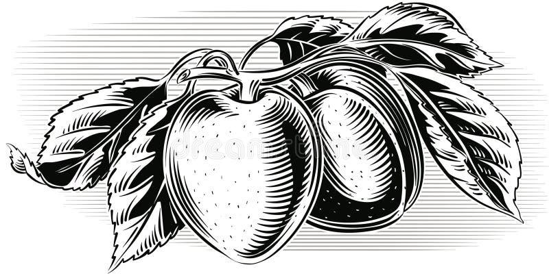 Ramifique com os dois abricós maduros ilustração do vetor