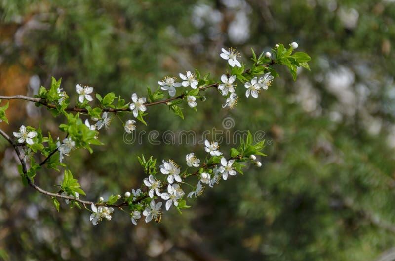 Ramifique con la floración fresca del primer salvaje de la flor del ciruelo-árbol en el jardín, Sofía imágenes de archivo libres de regalías