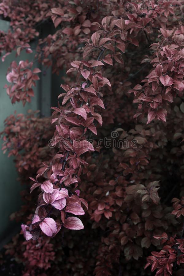 Ramifique con la hoja roja del otoño en el jardín imagenes de archivo