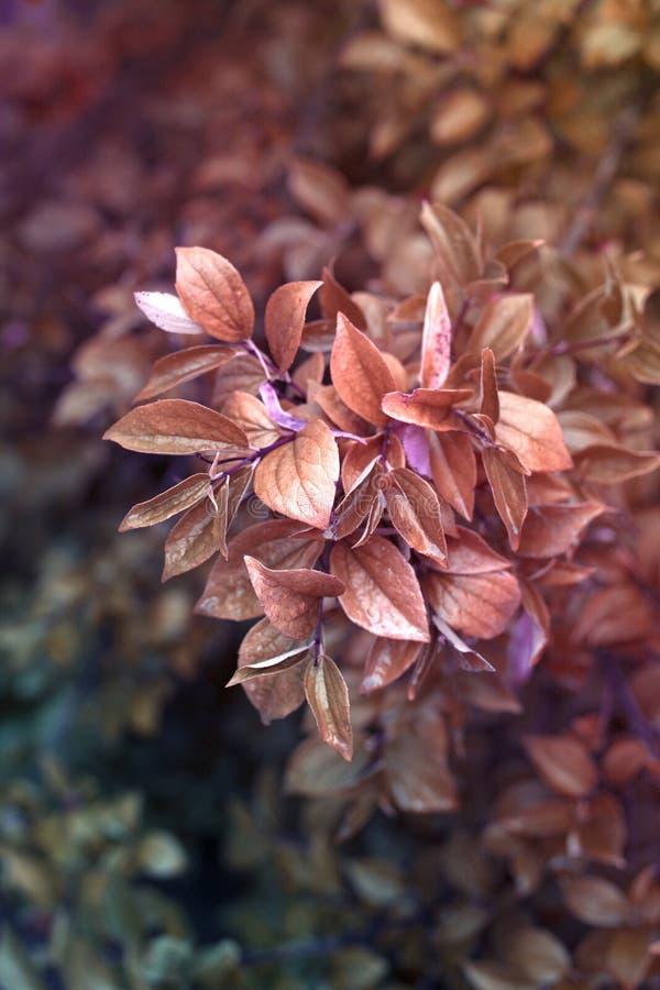 Ramifique con la hoja roja del otoño en el jardín imágenes de archivo libres de regalías