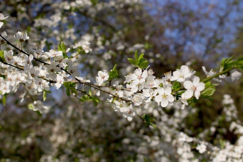 Ramifique con las flores blancas fotografía de archivo