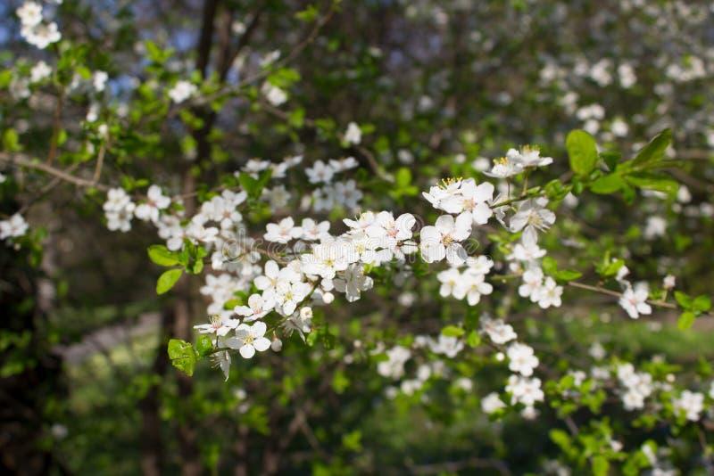 Ramifique con las flores blancas fotos de archivo libres de regalías