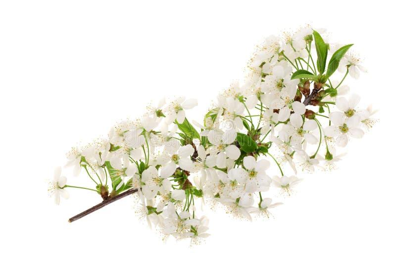 Ramifique con las flores de la pera aisladas en el fondo blanco Visión superior Endecha plana fotos de archivo