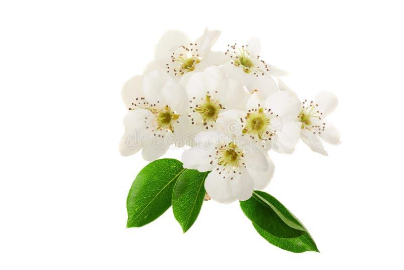Ramifique con las flores de la pera aisladas en el fondo blanco Visión superior Endecha plana fotografía de archivo