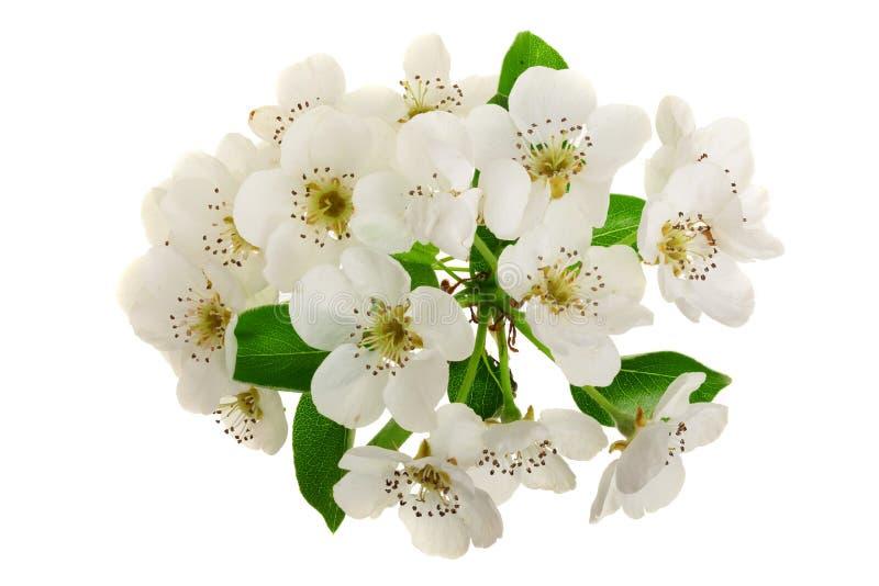 Ramifique con las flores de la pera aisladas en el fondo blanco Visión superior Endecha plana imagen de archivo