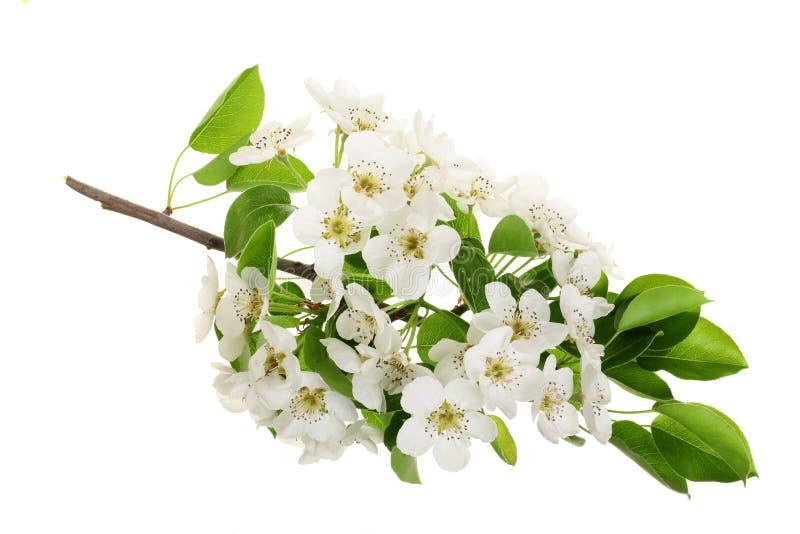 Ramifique con las flores de la pera aisladas en el fondo blanco Visión superior Endecha plana imagenes de archivo