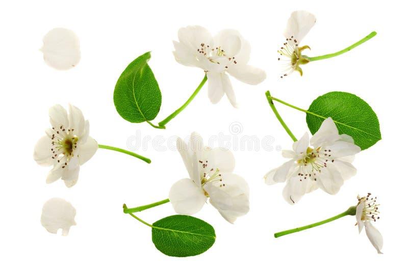 Ramifique con las flores de la pera aisladas en el fondo blanco Visión superior Endecha plana Sistema o colección imagen de archivo libre de regalías