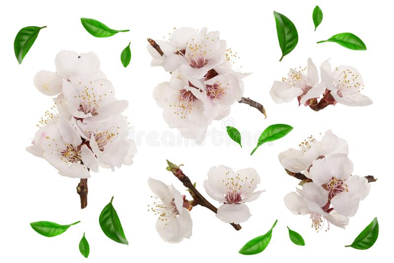 Ramifique con las flores del albaricoque aisladas en el fondo blanco Visión superior Endecha plana Sistema o colección ilustración del vector