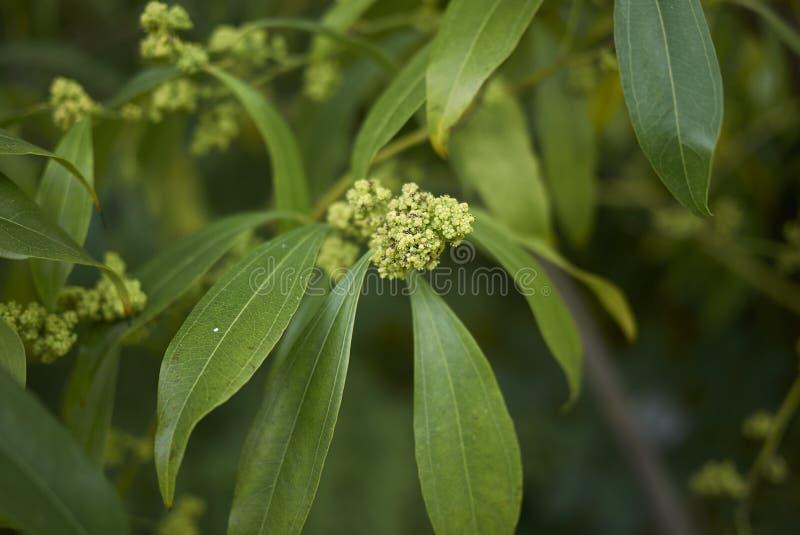 Ramifique con las flores del laurifolius del Cocculus fotos de archivo