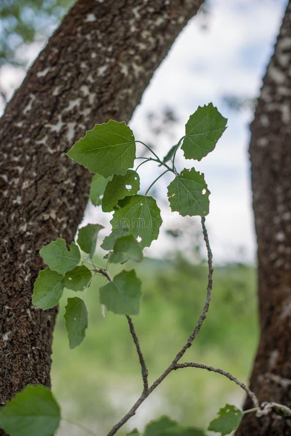 Ramifique con las hojas del álamo temblón y de x28; Tremula& x29 del Populus; imagen de archivo libre de regalías