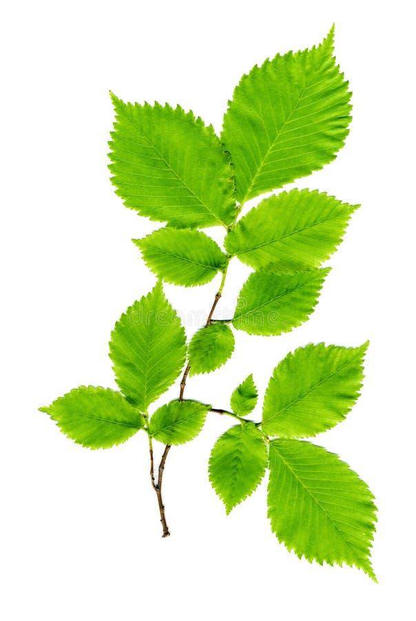 Ramifique con las hojas verdes en un blanco fotos de archivo libres de regalías