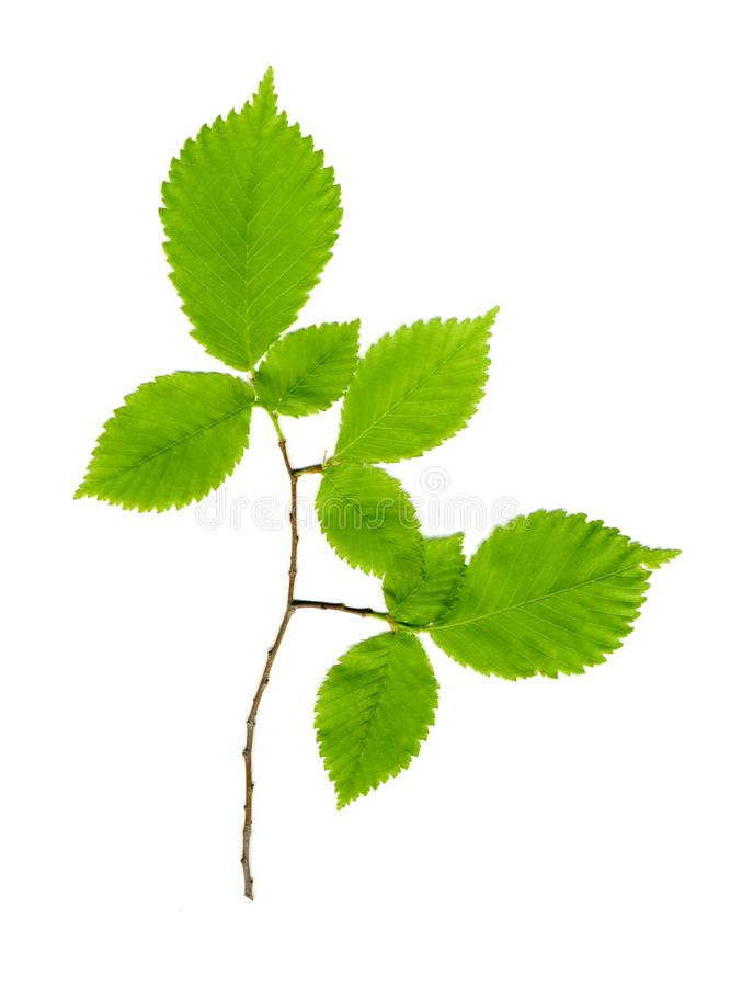 Ramifique con las hojas verdes en un blanco fotografía de archivo