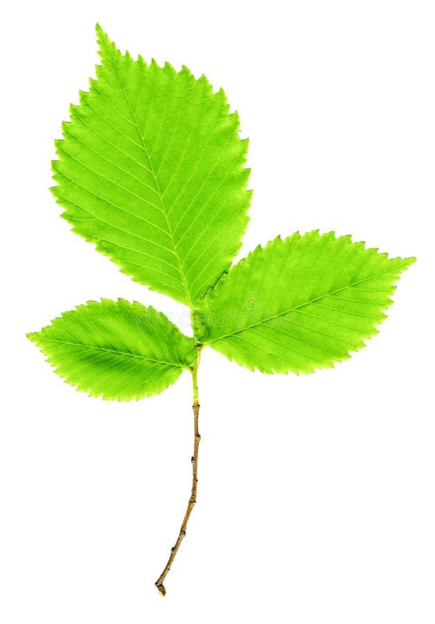 Ramifique con las hojas verdes en un blanco fotografía de archivo libre de regalías