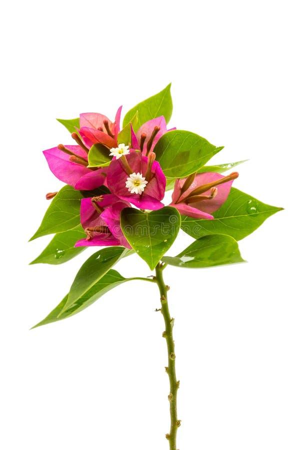 Ramifique con las hojas y las flores en el fondo blanco Ramo aislado en el fondo blanco fotografía de archivo