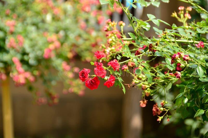 ramifique con las rosas rojas fotografía de archivo