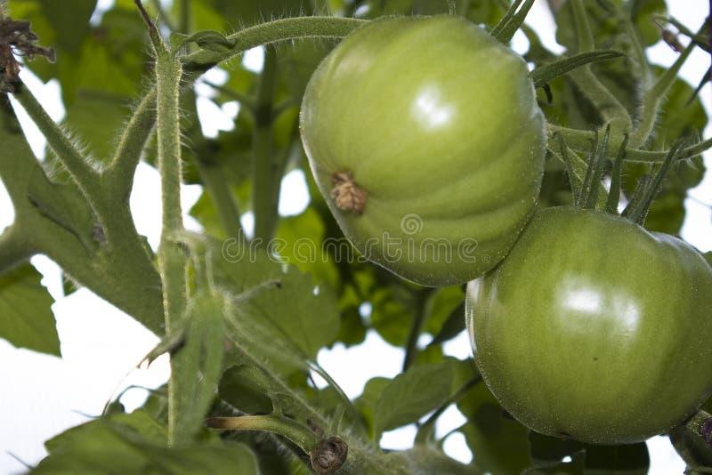 Ramifique con los tomates de maduración verdes fotos de archivo