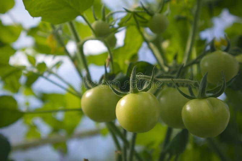 Ramifique con los tomates de maduración verdes que crecen en la casa caliente imagen de archivo