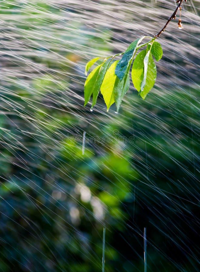 Ramifique en la lluvia fotografía de archivo libre de regalías