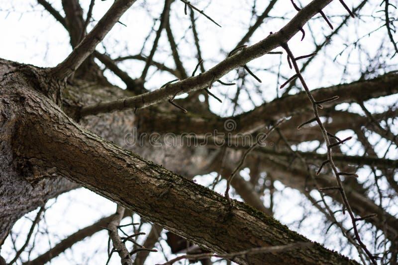 Ramifique sin las hojas del ginkgoaceae del biloba del ginkgo en invierno imagenes de archivo