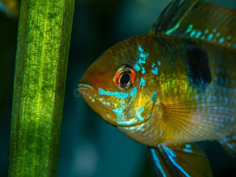 Ramirezi de Microgeophagus dans l'aquarium image libre de droits