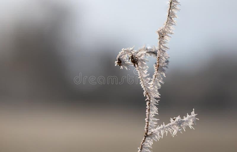 Ramita con las agujas de hielo de la escarcha y el fondo borroso fotografía de archivo