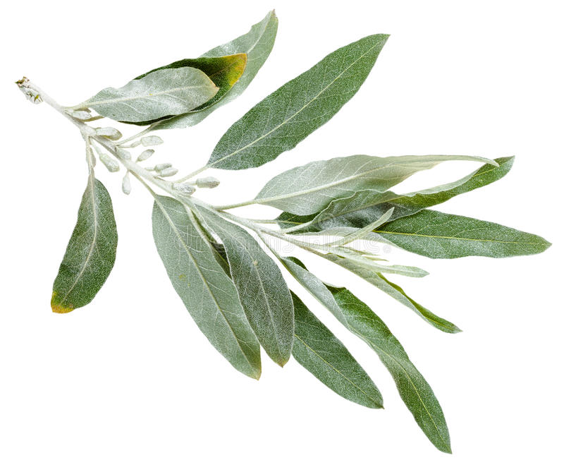 Ramita con las hojas de plata del angustifolia del Elaeagnus fotos de archivo
