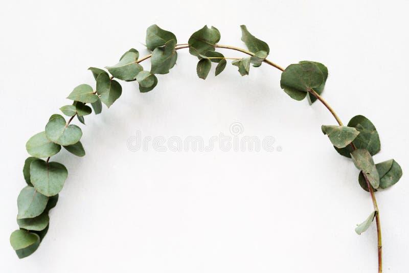 Ramita curvada verde del eucalipto de la planta de la botánica de la naturaleza imagenes de archivo