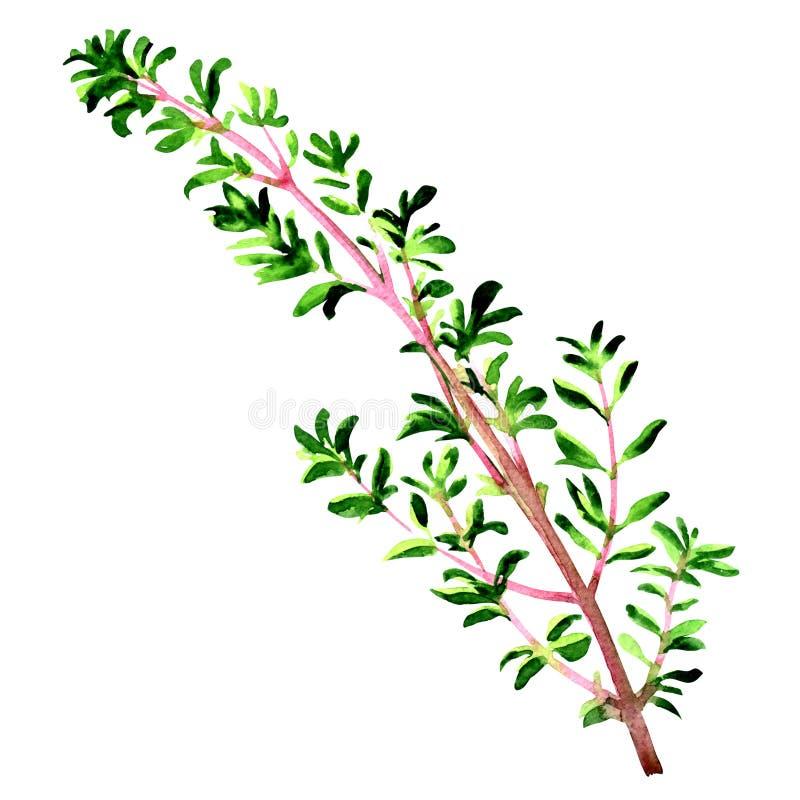 Ramita de las hojas frescas de la hierba del tomillo aisladas, ejemplo de la acuarela en blanco ilustración del vector