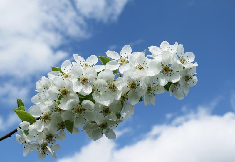 Ramita del árbol de pera foto de archivo libre de regalías