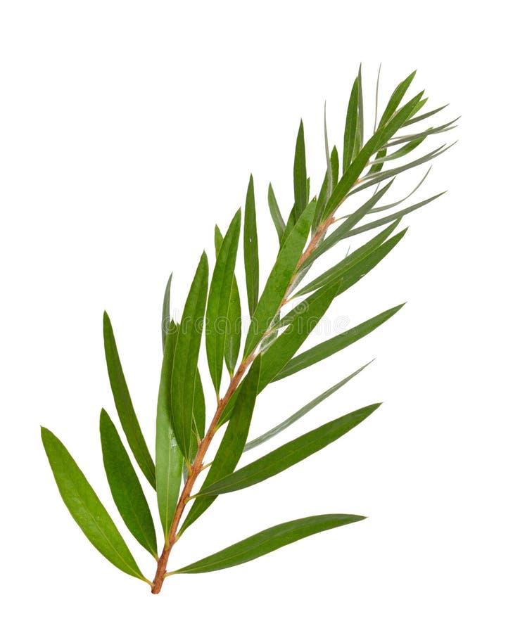 Ramita del árbol del té de Melaleuca Aislado en el fondo blanco fotos de archivo