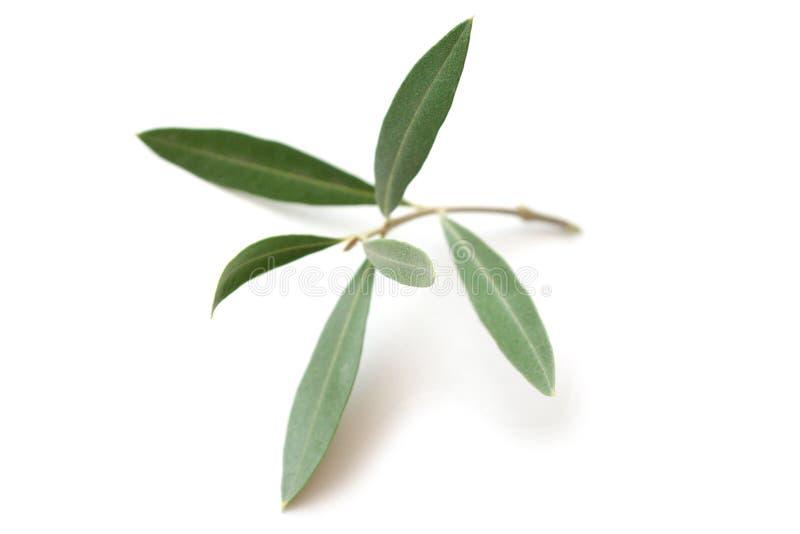 Ramita del olivo fotos de archivo