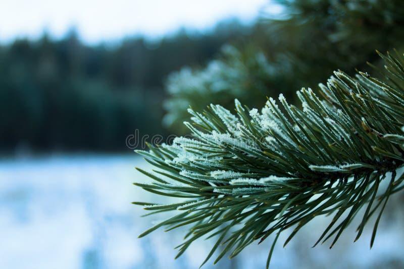 Ramita del pino en la escarcha en el bosque foto de archivo