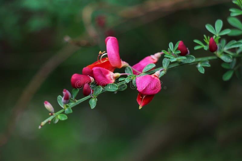 Ramita florecida roja blanda imagen de archivo