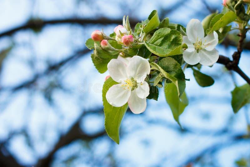 Ramita floreciente del manzano con las flores blancas imágenes de archivo libres de regalías