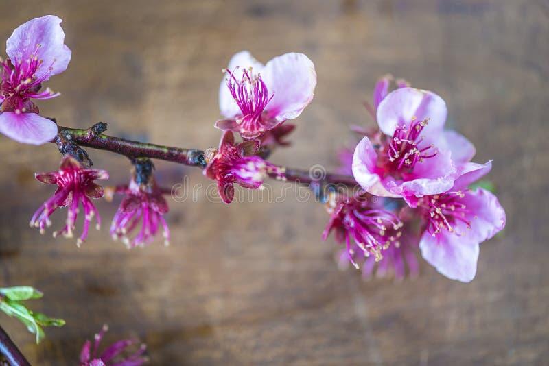 Ramita floreciente hermosa del melocotón fotografía de archivo