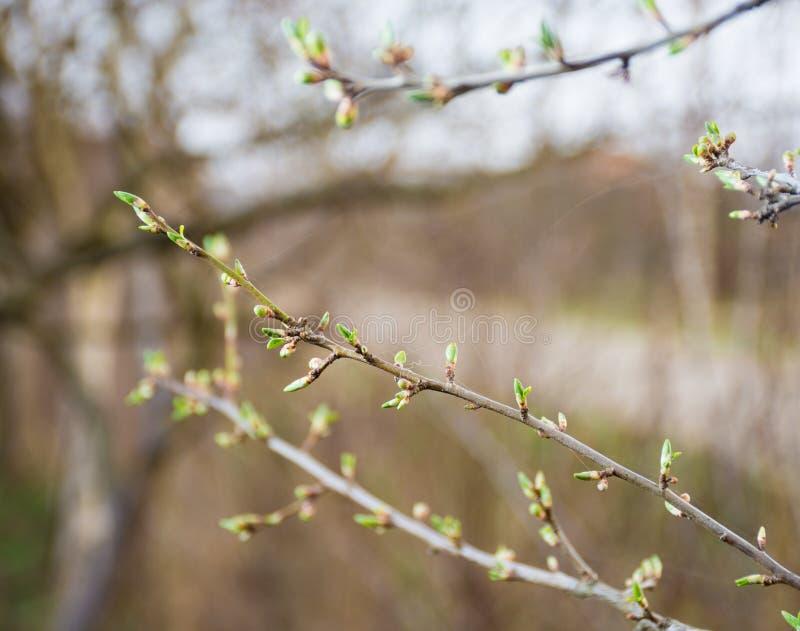 Ramitas del árbol de ciruelo con los primeros brotes fotos de archivo libres de regalías