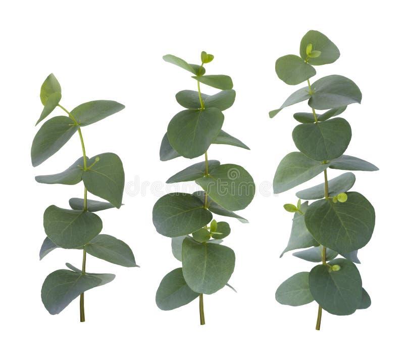 Ramitas del eucalipto tres con las hojas verdes aisladas en el fondo blanco imagen de archivo libre de regalías