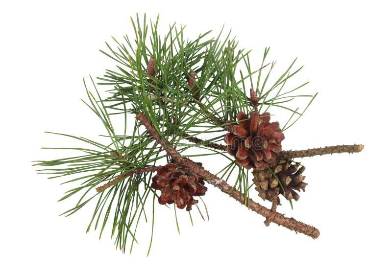 Ramitas del pino del invierno con los conos y las agujas verdes aislados foto de archivo libre de regalías