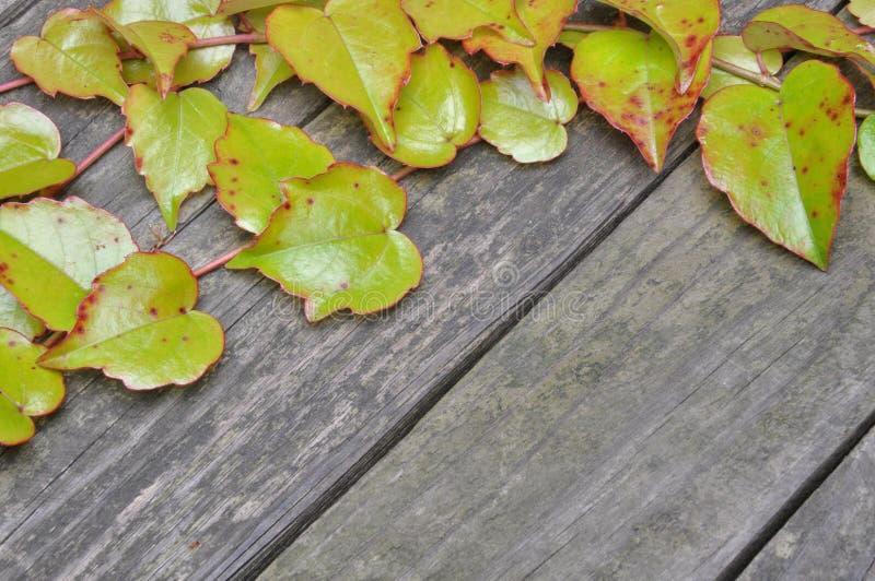 Ramitas verdes de la hiedra en los tableros de madera fotografía de archivo libre de regalías