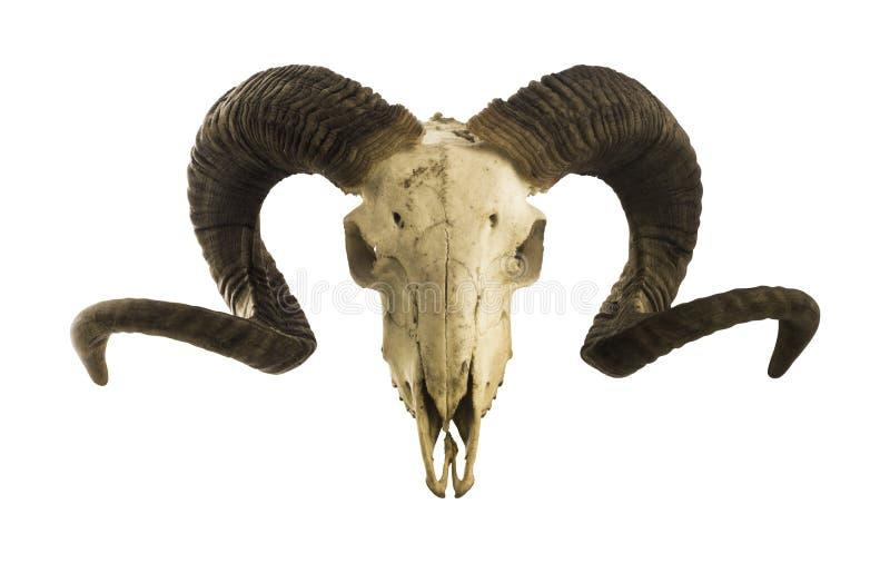 Ramma skallen med stora horn som isoleras på vit royaltyfria bilder