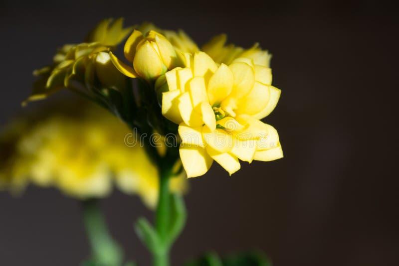 Ramo agradável do close-up amarelo pequeno das flores com fundo preto do inclinação fotografia de stock royalty free