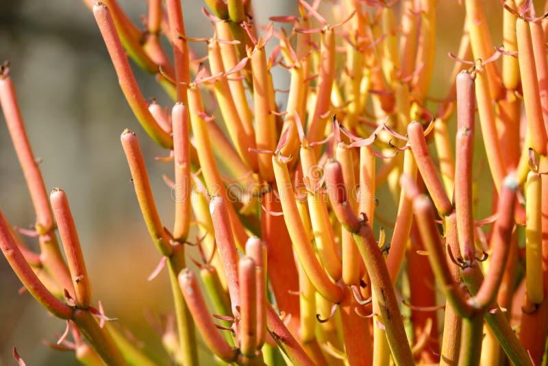 Ramo alaranjado da planta suculento, adôbe rgb fotos de stock