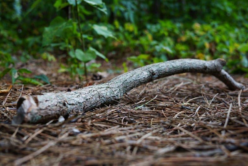 Ramo asciutto su Forest Background fotografia stock