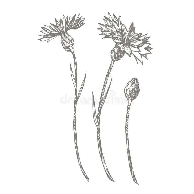 Ramo azul de la flor del bot?n de la hierba o del soltero del aciano aislado en el fondo blanco Fije de acianos de dibujo, floral libre illustration