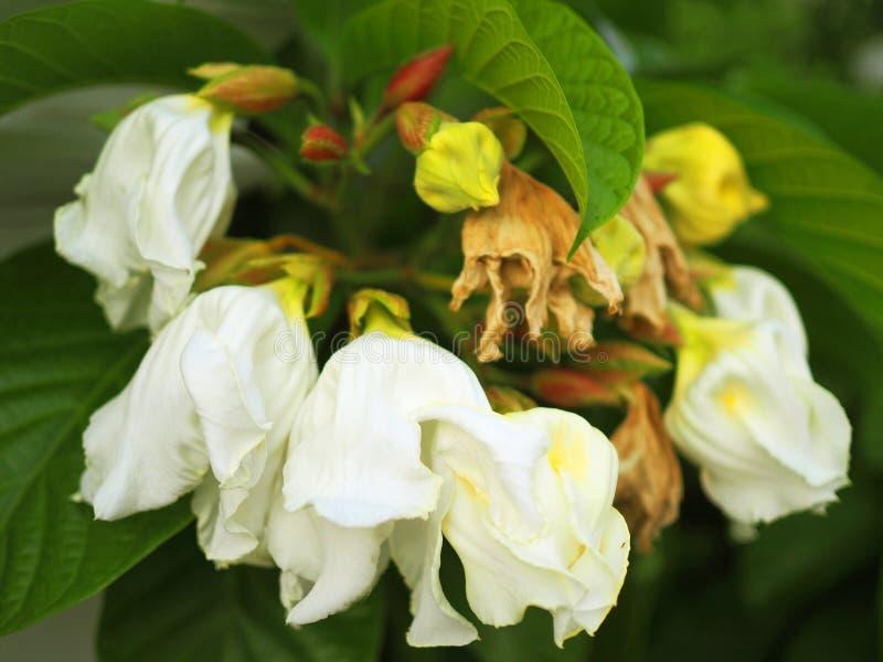 Ramo blanco grande de la flor del silverbell de Carolina del árbol de mayo fotografía de archivo libre de regalías