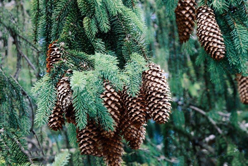 Ramo bonito com close-up dos cones, Transcarpathia do abeto fotos de stock royalty free
