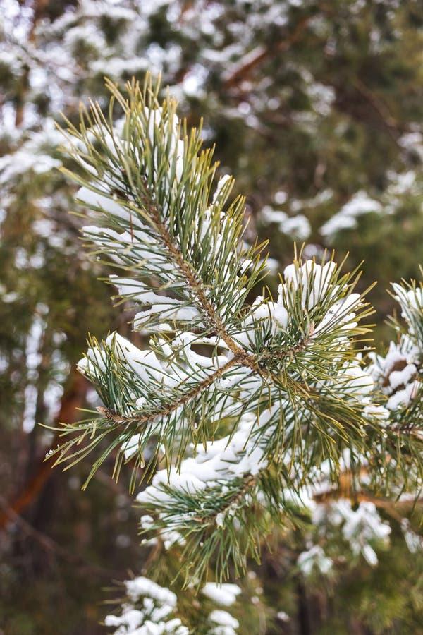 Ramo bonito do pinho coberto com os flocos da neve imagem de stock royalty free
