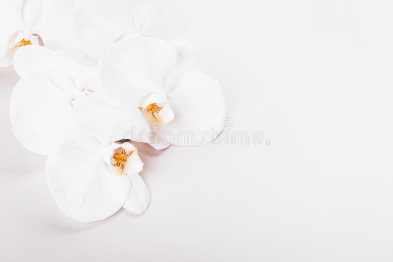 Ramo branco da orquídea no fundo cinzento do ligth fotografia de stock