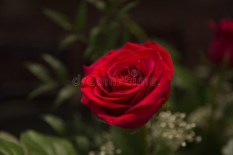 ramo color de rosa foto de archivo libre de regalías